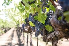 grapes-1952073